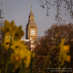 Big Ben Through the Daffodils in St. James' Park, London