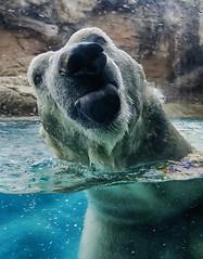 Nik lick (ucumari photography) Tags: ucumariphotography nikita polarbear ursusmaritimus oso bear animal mammal nc north carolina zoo osopolar ourspolaire oursblanc eisbär ísbjörn orsopolare полярныймедведь april 2016 dsc7024 specanimal 北極熊