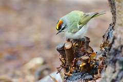 Golden-crowned Kinglet #4 (imageClear) Tags: cute bird nature wisconsin aperture nikon flickr sheboygan darling photostream goldencrownedkinglet kinglet foraging d600 passerine imageclear 804000mm