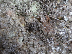 Small grey jumper 2 (tessab101) Tags: garden spider jumping spiders arachnid australia nsw wildflower arthropods kuringgai salticid salticidae salticids