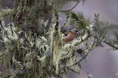 Fringuello in habitat (wolfman1908) Tags: bird nature natura bosco avifauna naturalmente lipu roseg