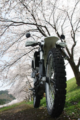 Row of cherry blossom trees in Takase (Will Design Works) Tags: japan touring mortorcycle
