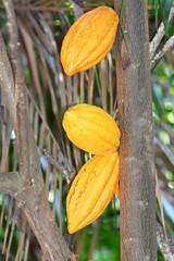THEOBROMA CACAO (concep1941) Tags: cocoa cacau cocoabeanseedstropicalplants