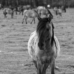 Wild Horses in black-and-white - Foal - 2016-019_Web (berni.radke) Tags: horse pony herd nordrheinwestfalen colt wildhorses foal fohlen croy herde dlmen feralhorses wildpferdebahn merfelderbruch merfeld przewalskipferd wildpferde dlmenerwildpferd equusferus dlmenerpferd dlmenpony herzogvoncroy wildhorsetrack