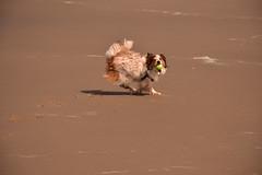 Cannon_5308 (johnmoffatt2000) Tags: dog pet playing motion beach animal ball fun sand flat action running tennis shore catch fetch