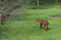 Kew Gardens - Fox (pesce_d_aprile) Tags: uk kewgardens london kew europe unitedkingdom fox botanicgardens royalbotanicgardens royalbotanicgardenskew