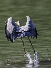 D97A9264 (yapaphotos) Tags: nature lac vol oiseaux hron dcollage wildelife cendr