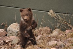 First Time Out (FlorDeOro) Tags: bear nature animal photography zoo cub nikon wildlife d90