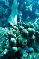 fan and sponge (loose-ends) Tags: coral fan honduras roatan reef sponge