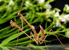 Hypsicorypha gracillis (Celimaniac) Tags: macro mantis insect prayingmantis mantide gottesanbeterin nikond3s hypsicoryphagracillis igm275