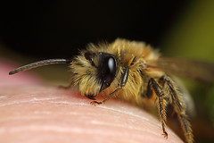 Male miner bee #3 (Lord V) Tags: macro bug insect bee andrena minerbee