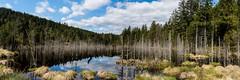 Tourbire / 1 (Thomas Devard) Tags: trees wild panorama nature water grass forest panoramic landcape