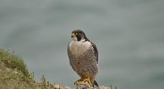 Peregrine Falcon (aadunne44) Tags: bird coast walk falcon prey swanage peregrine