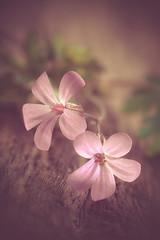Twins (RoCafe) Tags: pink flowers light wild macro garden soft pastels geranium nikond600 nikkormicro105f28