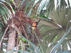 """Tikal: un toucan juste devant notre chambre <a style=""""margin-left:10px; font-size:0.8em;"""" href=""""http://www.flickr.com/photos/127723101@N04/26148249952/"""" target=""""_blank"""">@flickr</a>"""