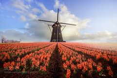 Follow your dream (PhoenixRoofing164) Tags: flowers sky holland mill windmill colors lines clouds composition landscape colorful dream landschaft hyacinten 500px