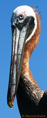 abd pelecanus occidentalis 2 (1 de 1) (Mauricio Rueda - Aves de Colombia) Tags: de colombia aves pelican rueda mauricio pelecanus pelcano occidentales