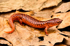 Blue Ridge Red Salamander (Pseudotriton ruber nitidus) (John P Clare) Tags: red leaves amphibian salamander spotted chubby newt blackspots redsalamander blueridgeredsalamander pseudotritonrubernitidus