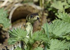 Grass snake : Natrix natrix (Jerry Hawker) Tags: grass snake somerset mating levels grasssnake shapwick natrix somersetlevels natrixnatrix jerryhawker