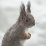 Red Squirrel thumbnail