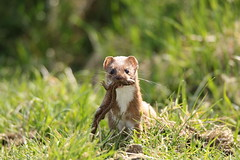 Weasel  ( A rare image of a weasel with a lizard) Springwatch . (GrahamParryWildlife) Tags: new uk orange sunlight plant field animal sport yellow photo kent flickr outdoor reptile small hunting sigma shy crest add tiny 7d weasel mk2 dungeness prey predator viewing lizzard depth hunt carnivore songbird mamal rspb leastweasel mustela 150600 grahamparrywildlife