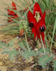 Swainsona formosa, Kings Park, Perth, WA, 24/03/16 (Russell Cumming) Tags: plant perth fabaceae kingspark westernaustralia swainsona swainsonaformosa
