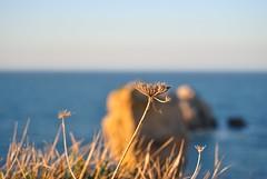 Liencres, Cantabria, Spain (Gonzalo Aja) Tags: sunset sea españa costa naturaleza flower broken nature grass atardecer coast mar spain bokeh flor cantabria quebrada hierba liencres d3000