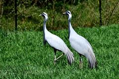 Grues demoiselles (Diegojack) Tags: nikon demoiselle oiseaux grues villarslesdombes nikonpassion d7200