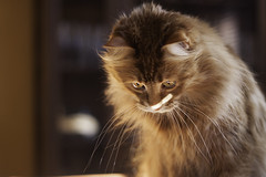 Mandy Monday: Concentrate (Photo Amy) Tags: red orange pet cute cat fur ginger furry kitten feline tabby longhair adorable fluffy whiskers precious whisker cuddly cuteness longhaired aminal ef50mm18 eartufts toefur canon50d