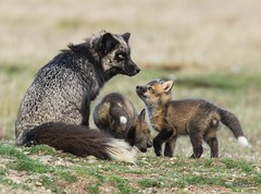 Silver Fox Mom With Young Kits (T0nyJ0yce) Tags: family wild baby cute nature animals mom cub wildlife adorable siblings fox kits pup foxes vixen silverfox redfox vulpesvulpes specanimal silverphase tamron150600