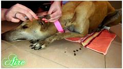 Aire 3 (santuariolacandela) Tags: españa dog puppy spain puppies perro aire animalsanctuary femaledog adoption apadrina galga fosterhome acogida adopción cabezalavaca amadrina santuariolacandela