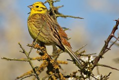 Male Yellowhammer (GrahamParryWildlife) Tags: new uk brown sunlight male bird up field animal sport yellow photo kent flickr close outdoor song small sigma add tiny 7d mk2 dungeness lichen loud viewing depth songbird plumage yellowhammer rspb 150600 grahamparrywildlife