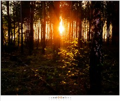 Just before the darkness returns to the forest (nandOOnline) Tags: trees light sunset sunlight nature leaves pine forest dark landscape gold fuji nederland natuur beech heide landschap lierop strabrechtseheide nbrabant x100t