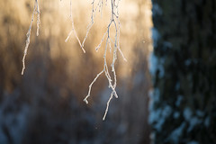 Golden light and branch (- David Olsson -) Tags: morning winter cold reed nature sunrise landscape dawn early frozen nikon frost branch sweden bokeh outdoor january karlstad handheld birch fx 70200 f4 vr januari warmlight d800 70200mm vrmland goldenlight gren 2016 sjstad blurredbackground 70200vr davidolsson