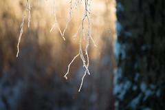 Golden light and branch (- David Olsson -) Tags: morning winter cold reed nature sunrise landscape dawn early frozen nikon frost branch sweden bokeh outdoor january karlstad handheld birch fx 70200 f4 vr januari warmlight d800 70200mm vrmland goldenlight gren 2016 sjstad blurredbackground 70200vr davidolsson