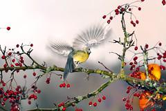Le vol d'un ange. (rolanddumontgirard) Tags: automne jura numrique oiseau msange envol msangecharbonnire rolanddumontgirard