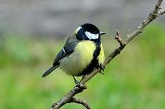 DSC_6170 (sylvettet) Tags: bird nature greattit 2016 msangecharbonnire nikond5100