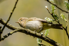 Willow Warbler (phylloscopus trochilus) (phat5toe) Tags: nature birds nikon wildlife feathers avian wigan flashes greenheart willowwarbler phylloscopustrochilus lancashirewildlifetrust d7000 sigma150500