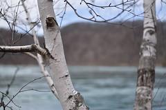 (E.Duthe) Tags: tree nature river spring nikon dof gloomy cloudy overcast niagara falls depthoffield d750 gorge birch