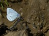 Holly Blue (ukstormchaser (A.k.a The Bug Whisperer)) Tags: uk blue sunlight macro animal animals butterfly way insect puddle fly afternoon feeding path wildlife north butterflies insects holly flies april milton keynes bridal bucks