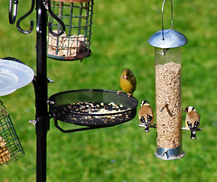 So you heard about this new feeding station opening up ? (GABOLY) Tags: england kent april feeders ourgarden greenfinch goldfinches 2016