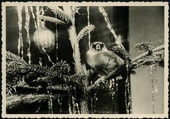 Archiv EE198 Vgelchen im Weihnachtsbaum, 1960er (Hans-Michael Tappen) Tags: christmas xmas weihnachten christmastree tinsel 1960s nol weihnachtsbaum tier vogel tannenbaum gongs christbaum 1960er lametta arbredenol christmastreedecorations christbaumschmuck archivhansmichaeltappen lamelledor