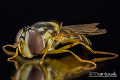 Hoverfly (Karlgoro1) Tags: black macro eye field animal closeup canon bug insect eos photo eyes focus pattern background stack 7d depth f28 hoverfly stacker mpe 65mm zerene macrolife