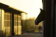 Maximum Sunset (Marco van Zelst) Tags: sunset horse sun weather silhouette fauna mammal zonsondergang zon hilversum paard weer