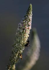 Memoria (lincerosso) Tags: flowers primavera fiori memoria bellezza armonia infiorescenze liopiccolo resedaalba resedabianca apidi pronubi arginilagunari valleolivara