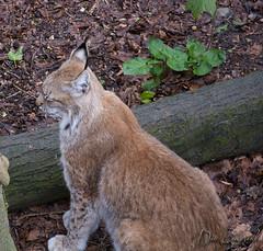 Bewegten sich leider kein Stck (dieunsoziale) Tags: zoo katze osnabrck tier luchs raubtier