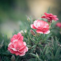 Bokeh primaverile (Andrea Rapisarda) Tags: flowers primavera garden 50mm spring nikon bokeh naturallight d750 fiori giardino sfocato garofani allrightsreserved