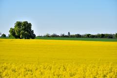 Le champ de colza (Mystycat =^..^=) Tags: france fleur plante landscape ciel paysage arbre charente champ colza