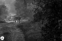 _MG_8422 (Himanshu Nagar Photography) Tags: park nature animal photography wildness canon60d wildlifeinindia tigerinthewild