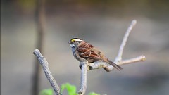 White-throated Sparrow, fluffing (malarchie) Tags: secaucus whitethroatedsparrow zonotrichiaalbicollis schmidtswoods